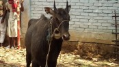 Another Nilgai found in Naogaon