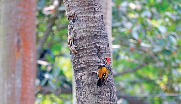 A squirrel and a woodpecker are spotted at Suhrawardy Udyan in the capital