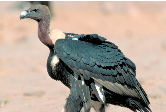 Protect vultures from extinction in S Asia: experts