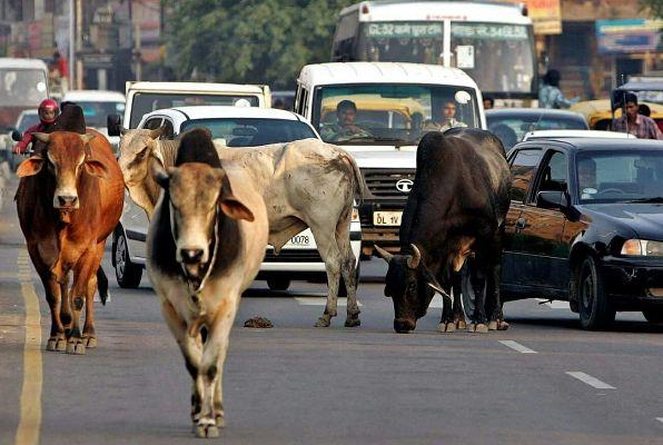 Cows come home to haunt India's Modi