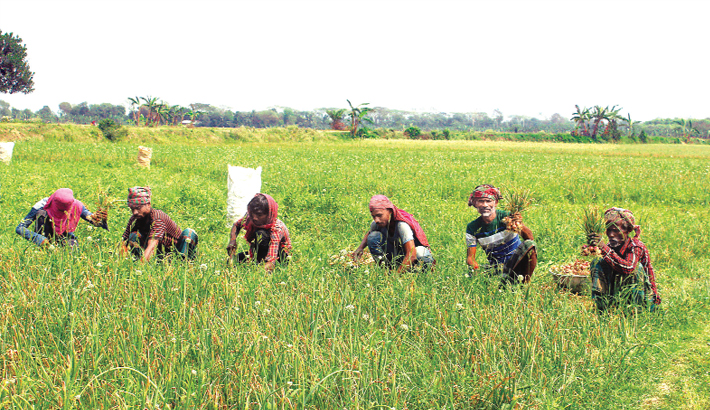 Farmers are busy harvesting onion at a field