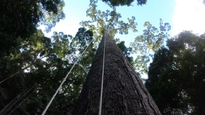 UK scientists discover world's tallest tropical tree