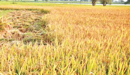 Rice production to hit all-time high