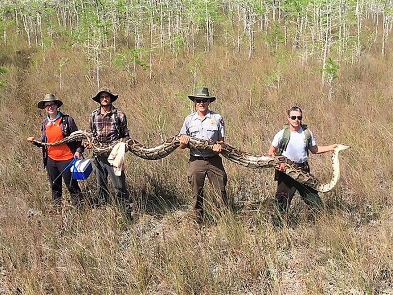 Team in Florida captures huge python using tracking devices