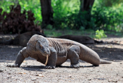 Komodo Island could ban tourists after reports that people are smuggling dragons