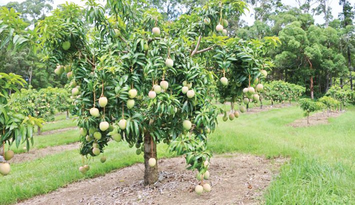 High Court asks government to deploy police in mango orchards to stop use of chemicals