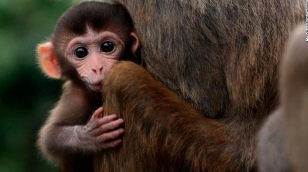 Monkey get smarter after implanting Human gene