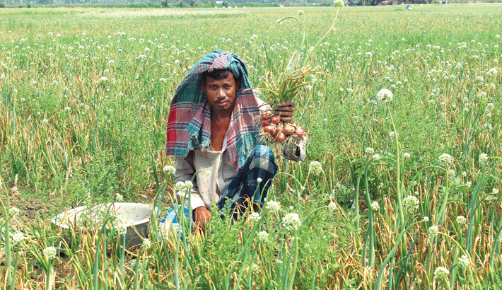 Farmer is harvesting onion at a field