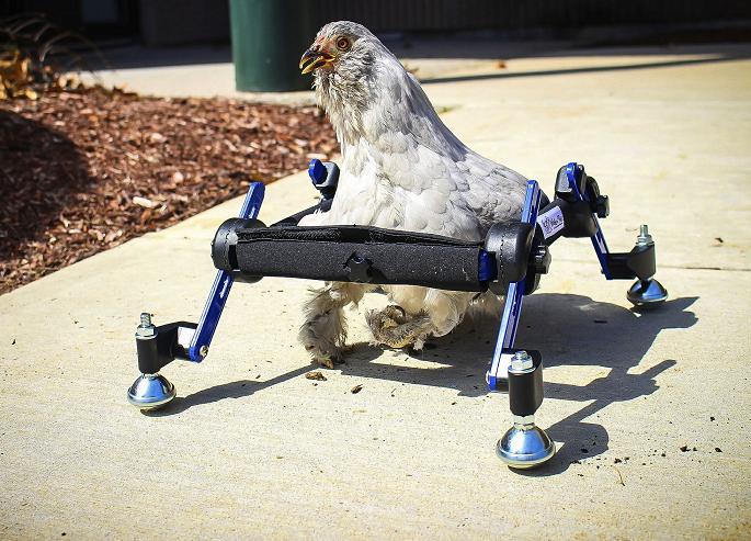 Disabled pet chicken using wheelchair