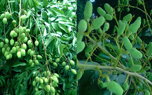 Excellent litchi growth makes farmers happy in Rangpur region