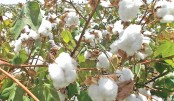 India losing cotton export mkt to Brazil