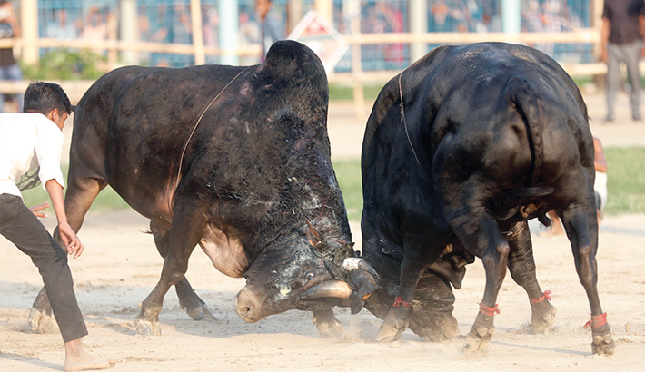 Bullfight competition