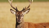 Australia deer attack kills man and injures woman, police say