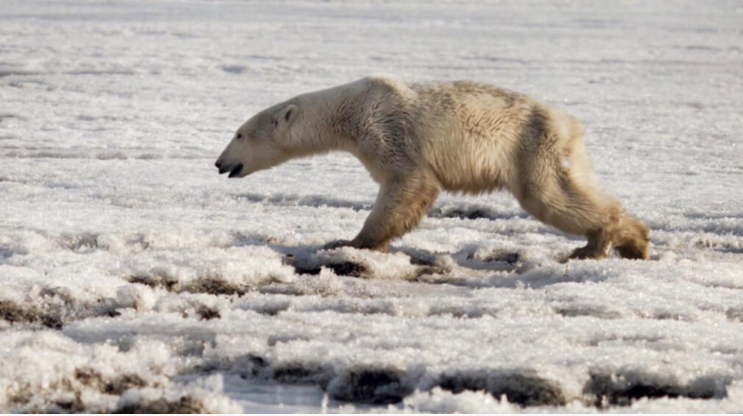 Polar bear gets lost in Russia, hundreds of miles from home