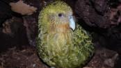 Rare kakapo parrots have best breeding season on record