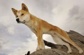Australian father rescues toddler from dingo's jaws