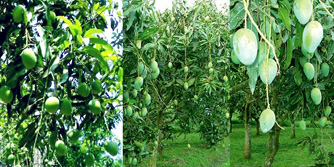 Farmers eye bumper mango output in Rangpur region