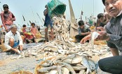 Fishermen are amassing hilsa