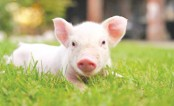 Scientists revive brain function in dead pigs