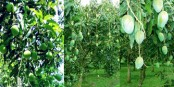 Farmers eye bumper mango output in Rangpur region