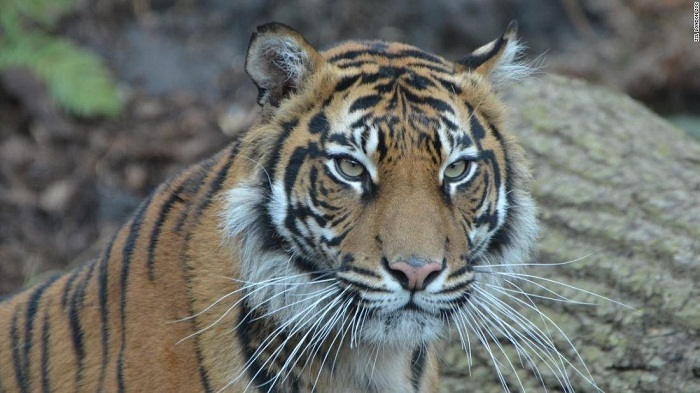 Zookeeper hospitalised after tiger attack at Kansas Zoo