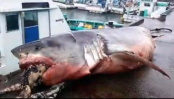 Great white shark's body found tangled in fisherman's net