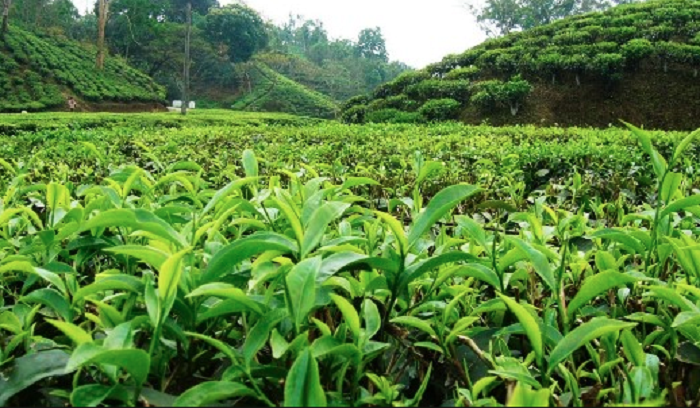 Bangladesh earns Tk 20.39 cr from tea export