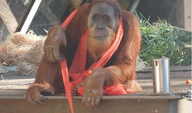 Orangutan escapes from Melbourne zoo