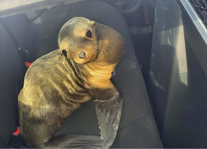 Baby sea lion rescued from busy California highway