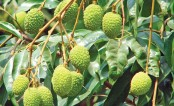 Bumper litchi yield expected in Rangpur region