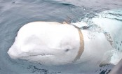 'Russian' whale leads to espionage speculations in Norway