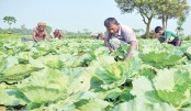 Vegetable production target exceeds in Rangpur region