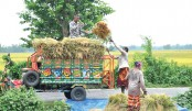 Farmers are loading bundles of paddy onto a vehicle