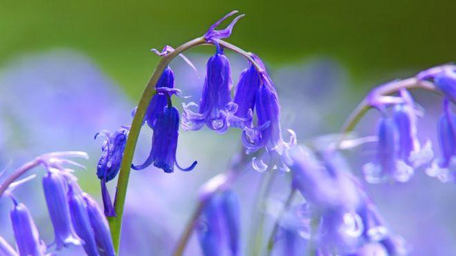 British bluebells have genetic advantage