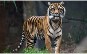 Bengal tigers may not survive climate change