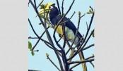 Hornbills  Flying High