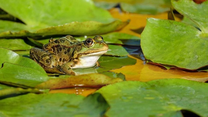 Fatal disease infecting frogs globally