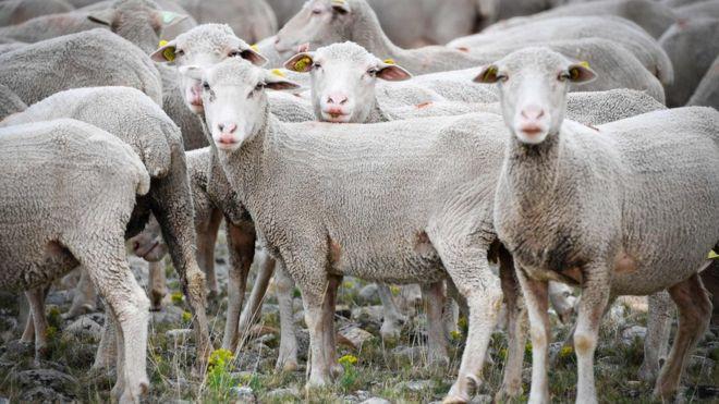 Sheep enrol at French school as students