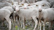 Sheep enrol at French school as students