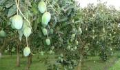 Mango harvesting begins in Rajshahi May 15