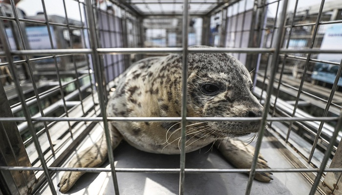 37 spotted seal pups rescued from China traffickers released