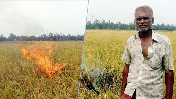 Tangail farmer protests price fall setting paddy field on fire