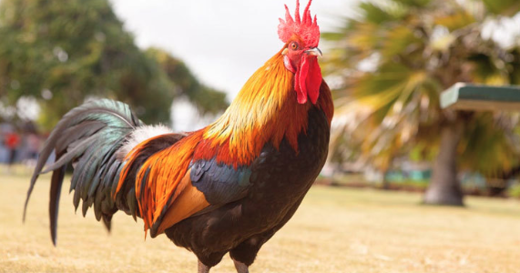 A 'rooster' fetches a whopping amount of 1 lakh rupees