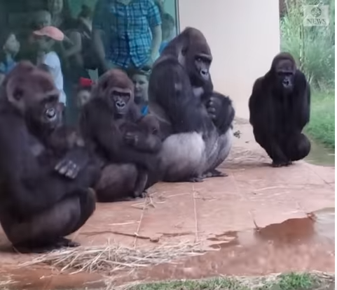 Gorillas try to stay out of rain in hilarious viral video (Watch)