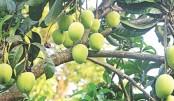 Mango picking begins in Rajshahi on May 15
