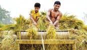 Farmers upset at low paddy prices in Brahmanbaria