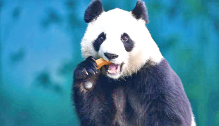 China creates app to  recognise Pandas