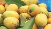 Chapainawabganj mangoes ready to hit market
