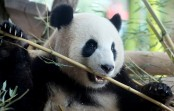 China creates app to recognize Pandas