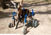 Couple adopt disabled goat and duck